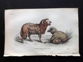 Jardine C1840 Antique Hand Col Print. Barbary Breed or Wild Sheep
